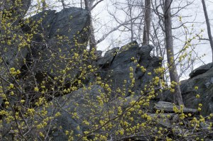 spicebush and Carderock