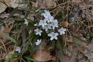 spring beauties clump