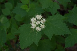 maple-leaed viburnum