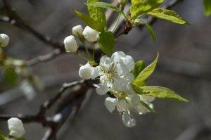 prunus (species unknown)
