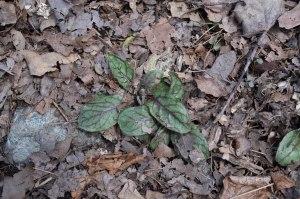 rattlesnake weed foliage