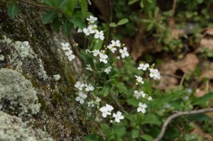 lyre-leaved rock-cress