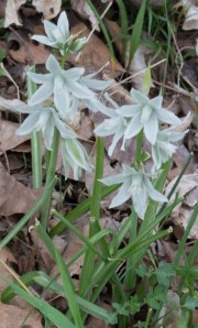 nodding star-of-Bethlehem