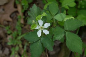 swamp dewberry