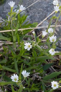 field chickweed 2