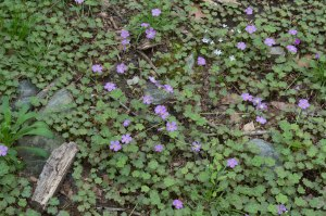 field of violet wood sorrel
