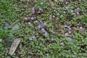 field of violet wood sorrel