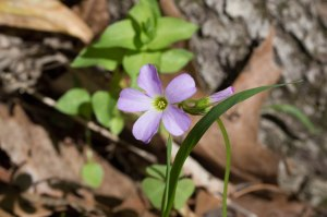 violet wood sorrel closeup