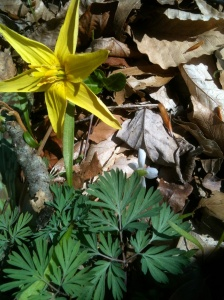 trout lily with Dentaria foliage