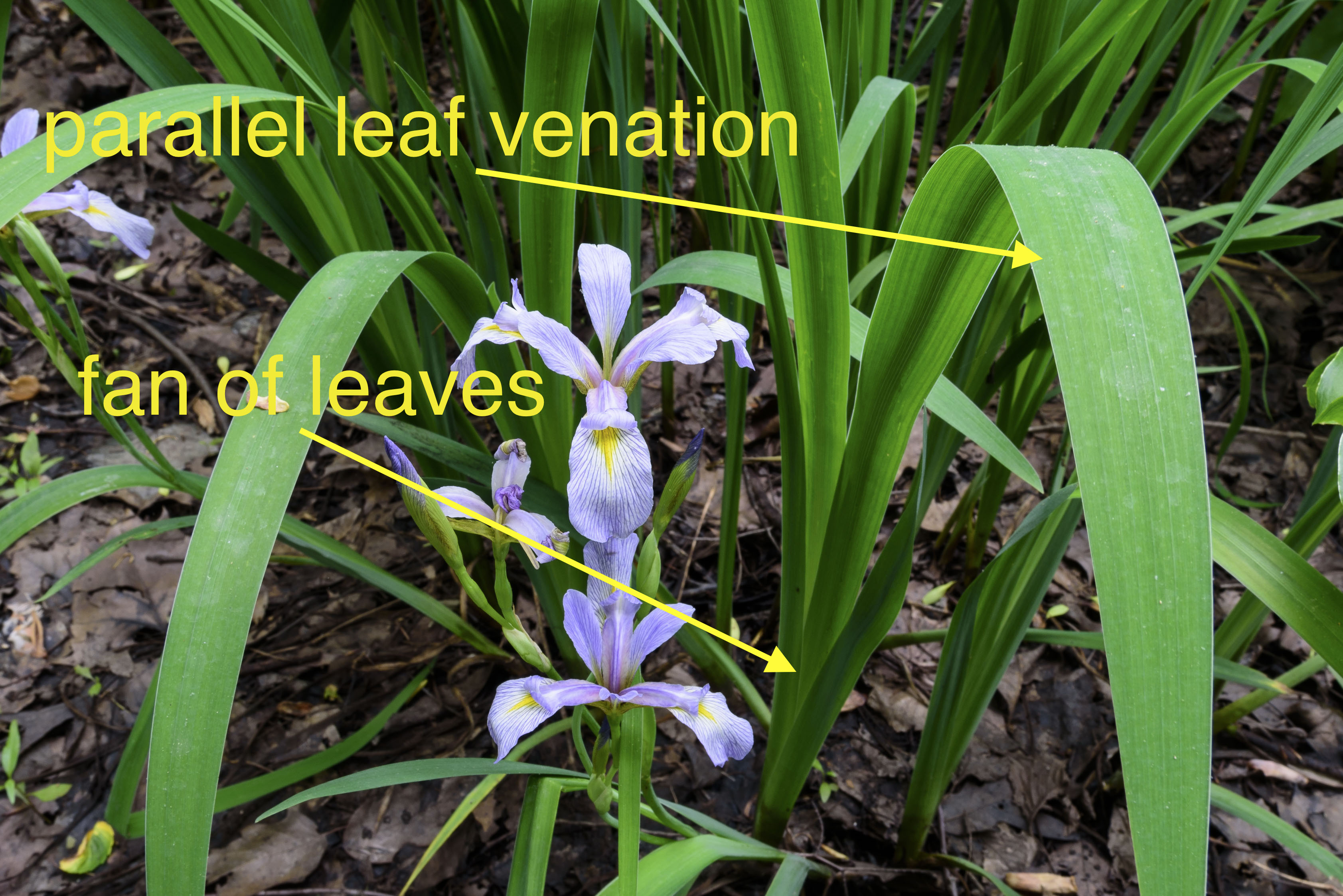 Iris flowers terminology and structure elizabeths wildflower blog irises are monocots monocots usually have different growth forms and habits from dicots this group of leaves arising fan like from a single point is a izmirmasajfo Images