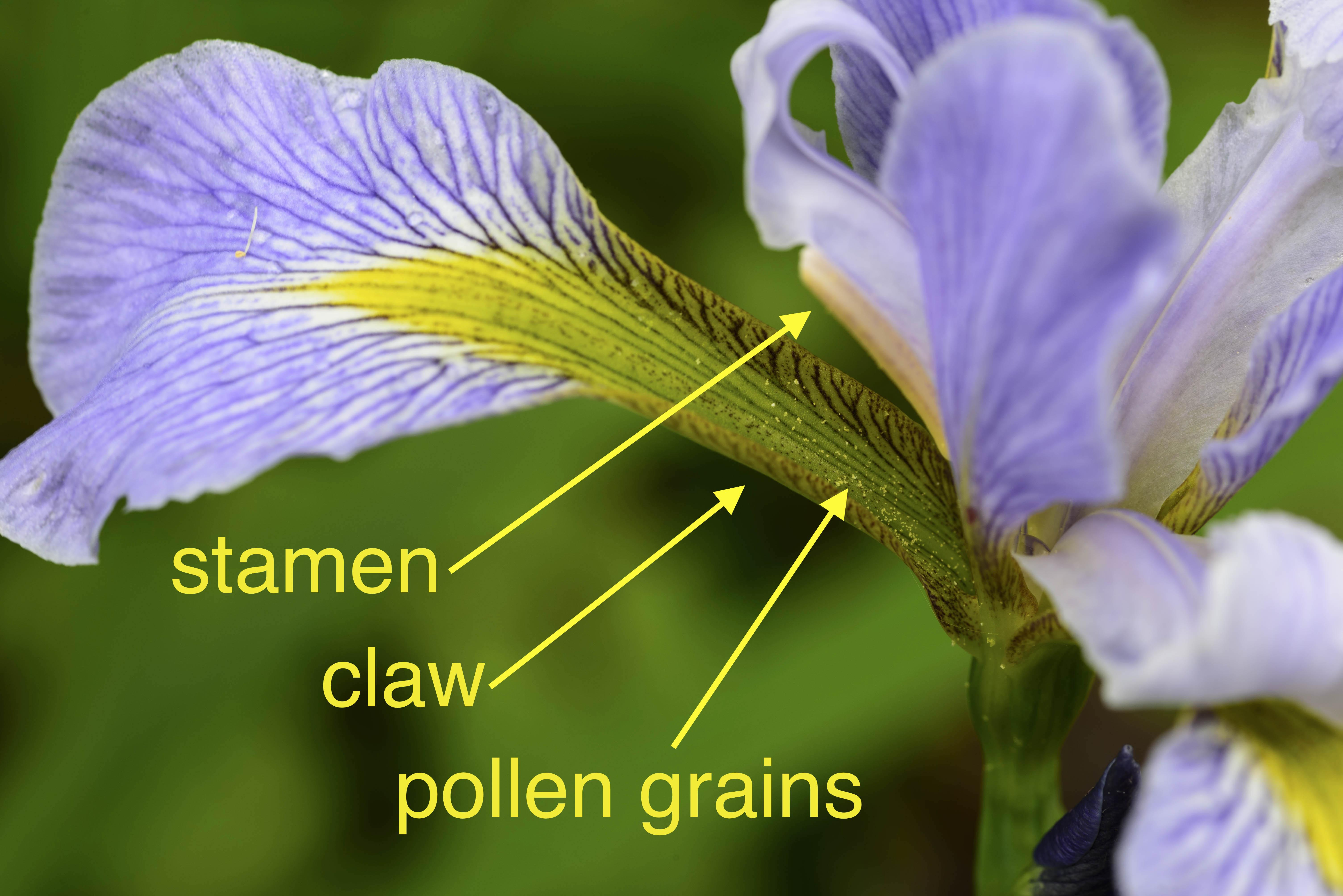 Iris Flowers Terminology And Structure Elizabeths Wildflower Blog