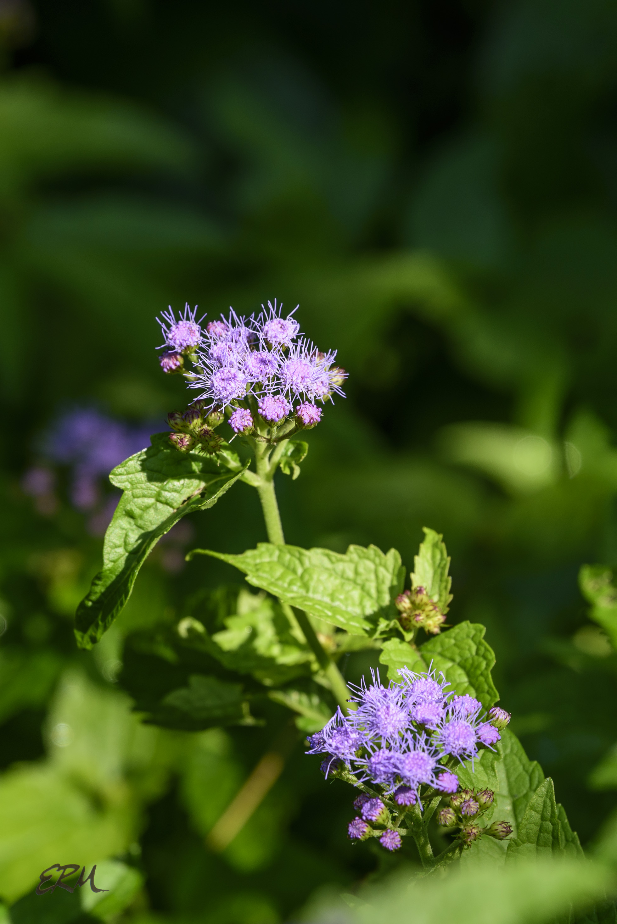 Astery things 4 blue mistflower elizabeths wildflower blog next in the series of posts on composite flowers lacking ray florets is blue mistflower like the joe pye weeds blue mistflower was once placed in the izmirmasajfo